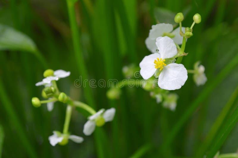 flor da seta do ฺBulltongue, sp do Sagittaria imagem de stock royalty free
