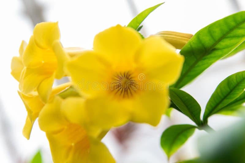 Flor da trombeta dourada no jardim fotografia de stock royalty free