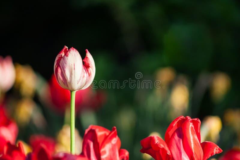 Flor da tulipa com fundo verde da folha no campo da tulipa no dia do inverno ou de mola para a decoração da beleza do cartão e na imagens de stock royalty free