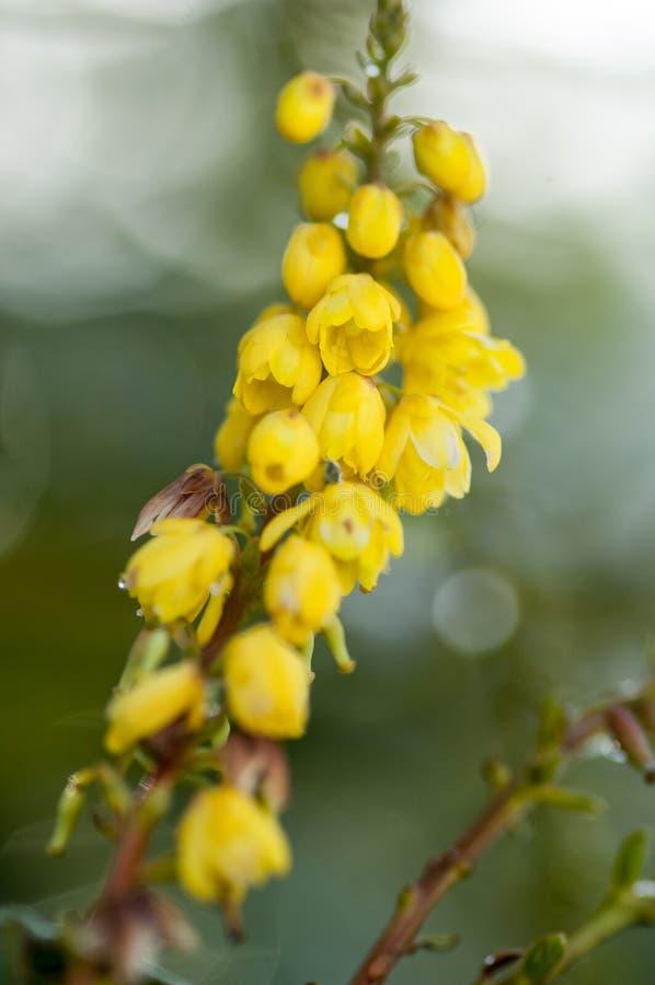 Flor da uva de Oregon fotografia de stock royalty free