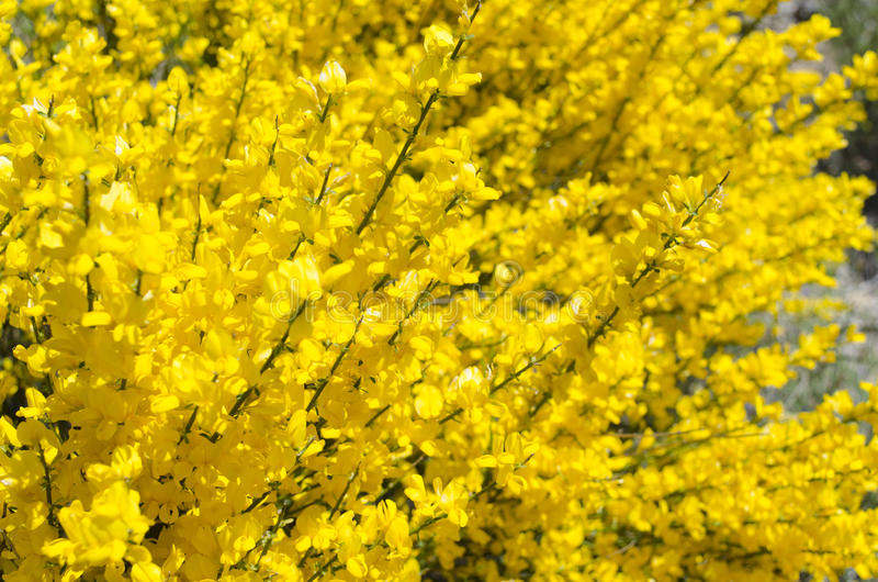 Flor da vassoura na mola fotos de stock
