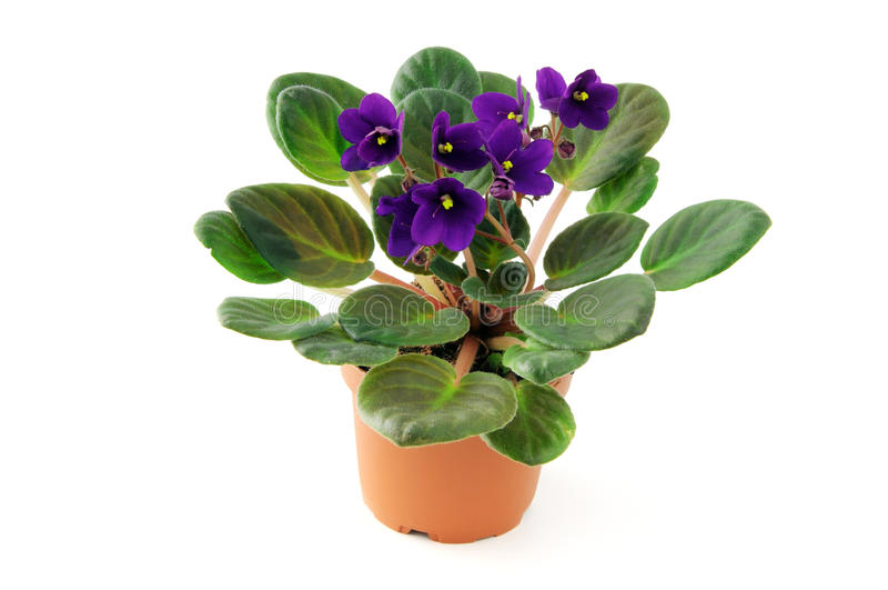 Flor da violeta africana no potenciômetro no fundo branco isolado fotos de stock royalty free
