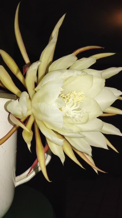 Flor Dama de la Noche royaltyfria bilder
