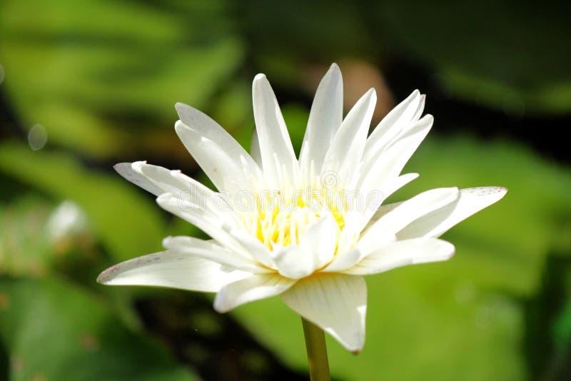 Flor das flores de Lotus fotografia de stock