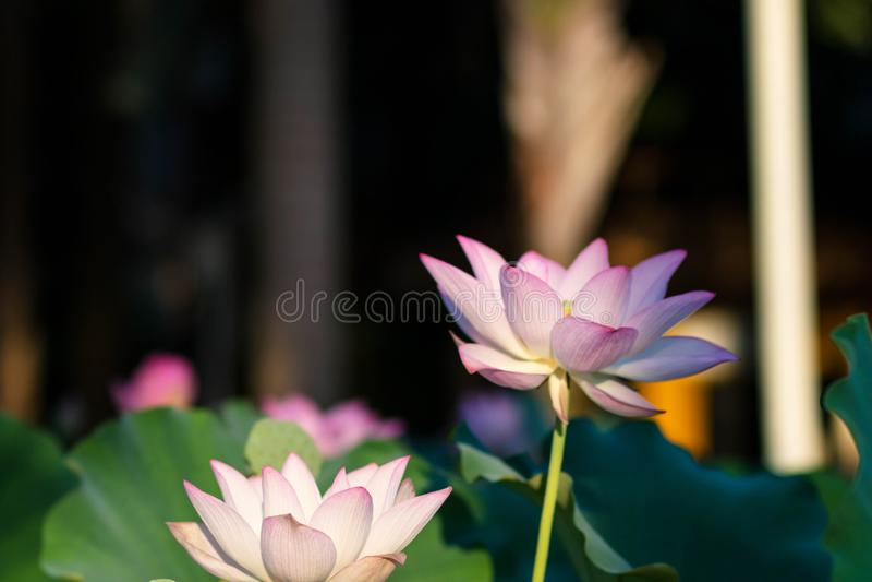 Flor das flores de Lotus no parque imagem de stock royalty free