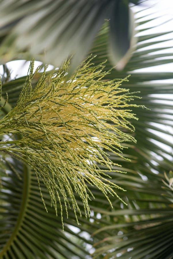 Flor das palmeiras fotos de stock