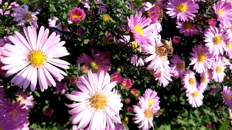 Flor daysilike de la lila hermosa del aster y la pequeña abeja imagen de archivo libre de regalías