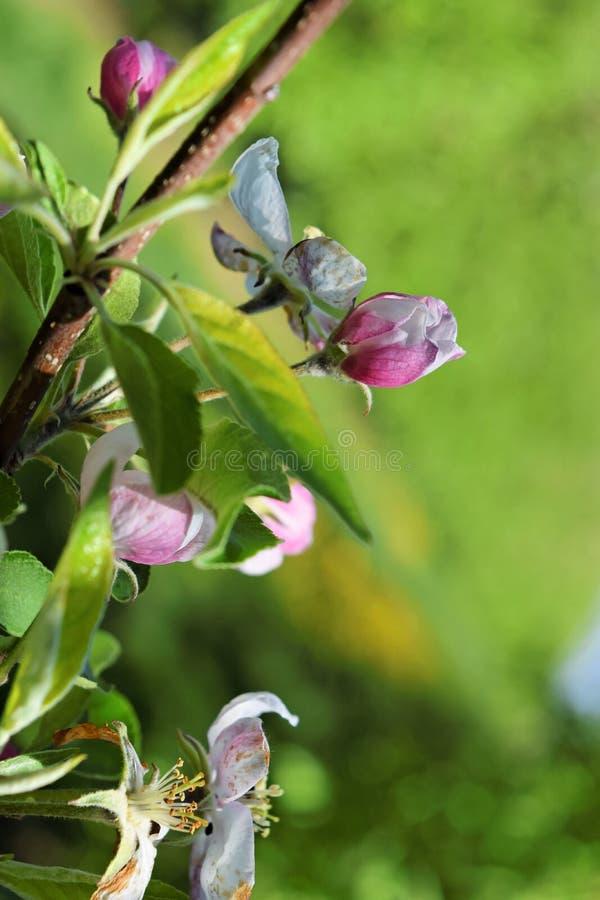 Flor de árvores de maçã na primavera imagens de stock