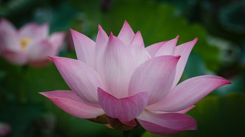 Flor de único Lotus imagens de stock