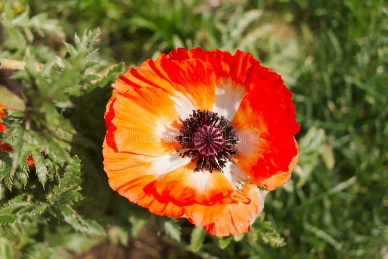 Flor de adormidera roja decorativa cerrada imagenes de archivo