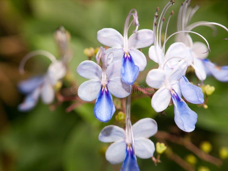 Flor de alarma azul fotografía de archivo libre de regalías