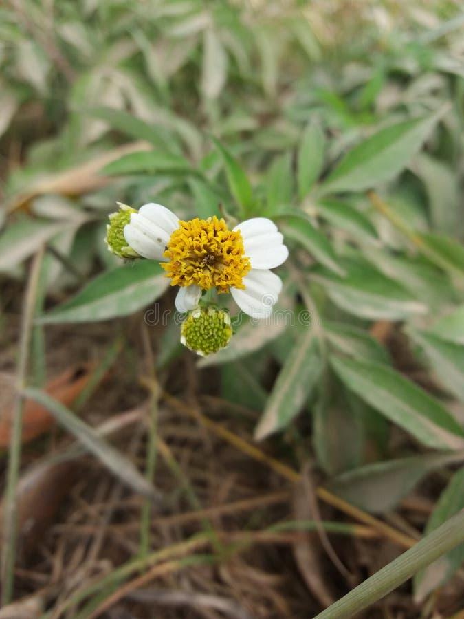 Flor de Alonly foto de archivo libre de regalías
