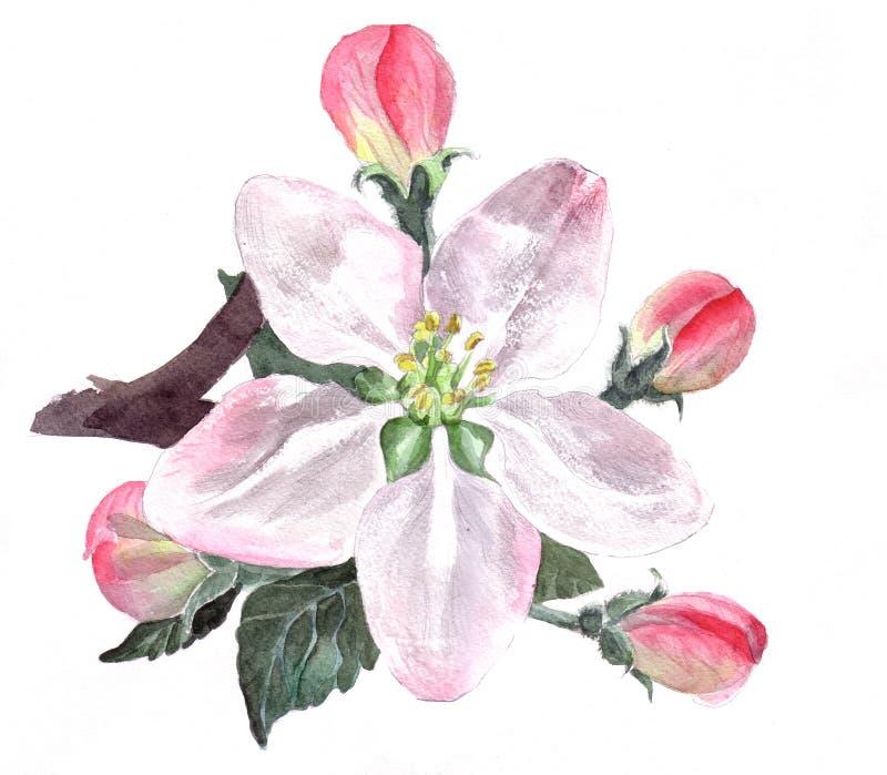 Flor de Apple ilustração royalty free