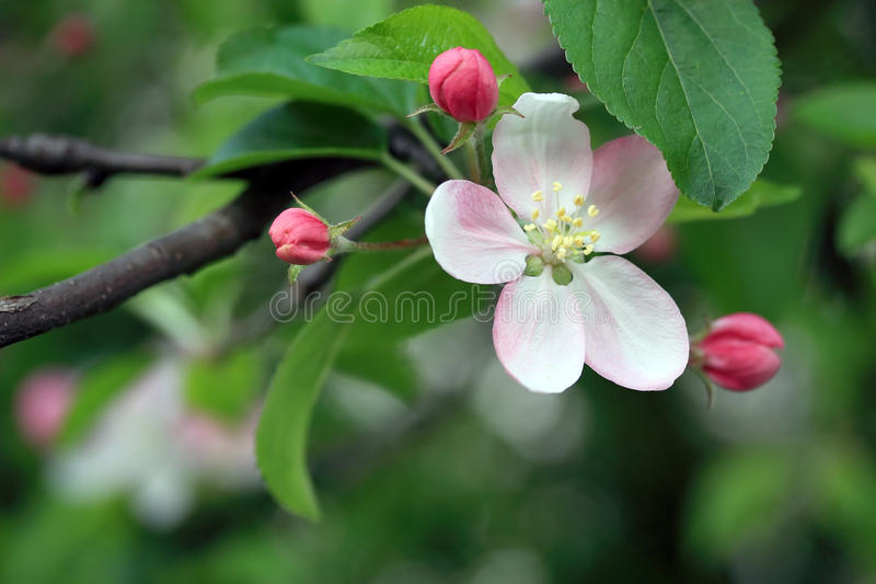 Flor de Apple imagem de stock royalty free