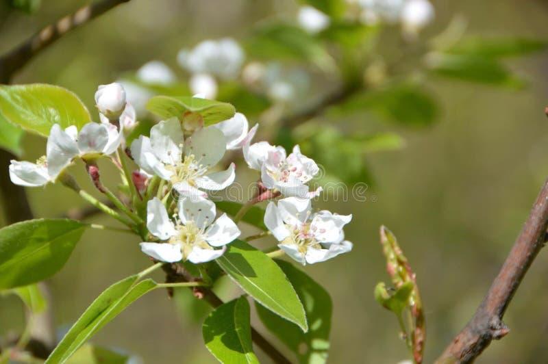 Flor de Apple fotos de stock royalty free