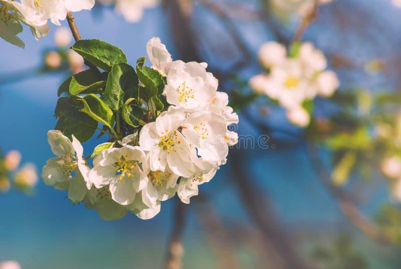 Flor 3 de Apple fotografia de stock royalty free