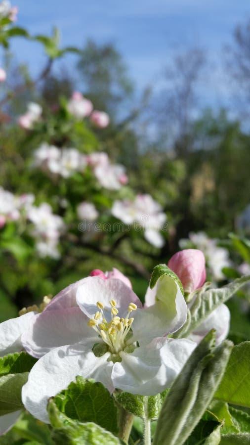 Flor de Apple foto de stock