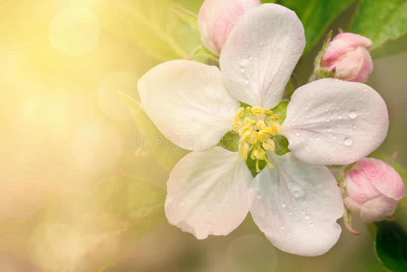 Flor 2 de Apple fotografia de stock royalty free