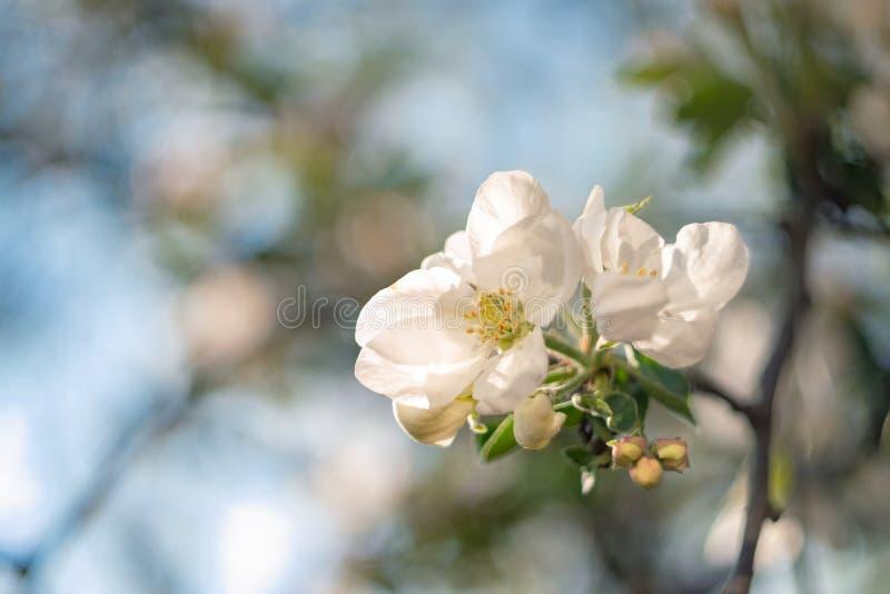 Flor de Apple Flor, botões e folhas novas imagem de stock royalty free