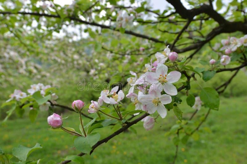 Flor de Apple com gotas da água nas pétalas da flor foto de stock royalty free