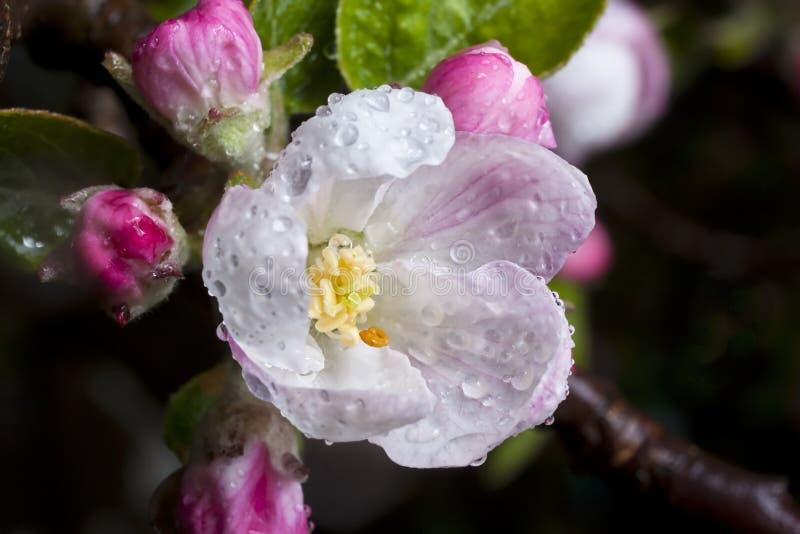 Flor de Apple después de una tempestad de la lluvia fotos de archivo libres de regalías