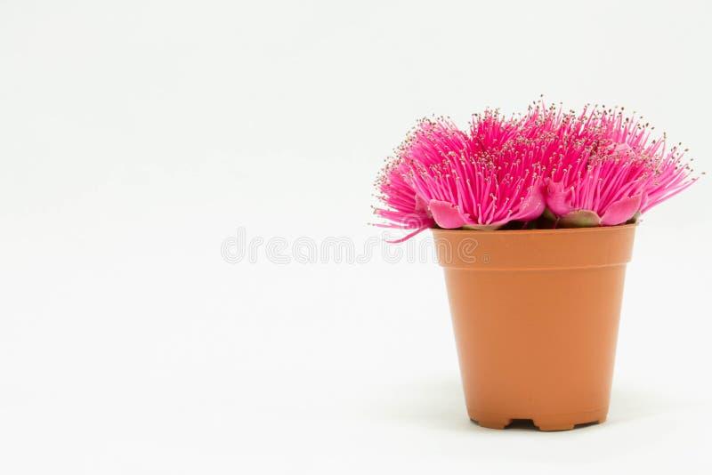 Flor de Apple do Malay fotos de stock
