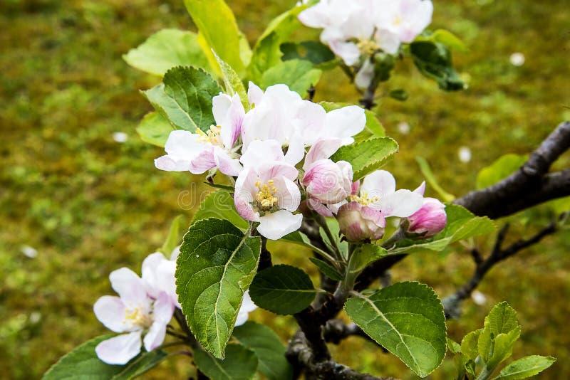 Flor de Apple en un árbol enano que se coloca en alto de 4 pies fotos de archivo