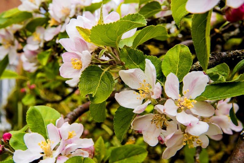 Flor de Apple en un ?rbol enano que se coloca en alto de 4 pies imágenes de archivo libres de regalías