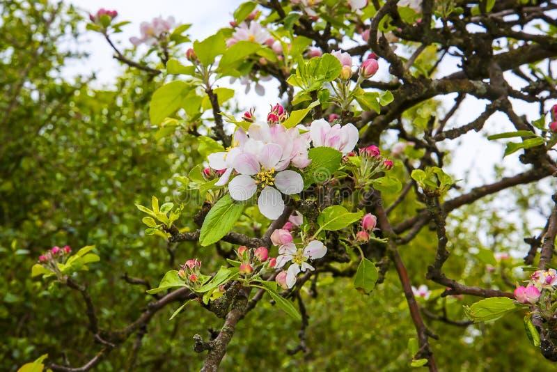 Flor de Apple en un ?rbol enano que se coloca en alto de 4 pies foto de archivo libre de regalías