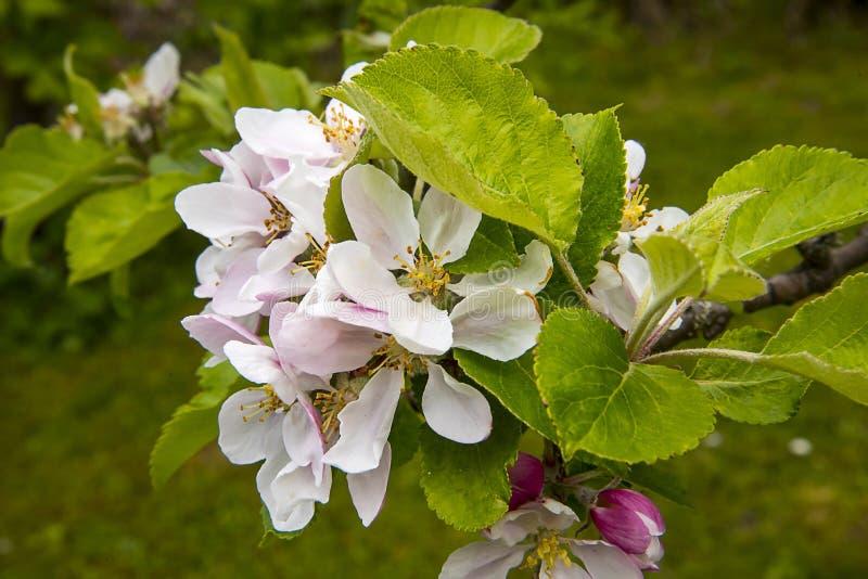 Flor de Apple en un ?rbol enano que se coloca en alto de 4 pies fotos de archivo