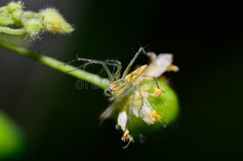 Flor de araña del puente fotografía de archivo
