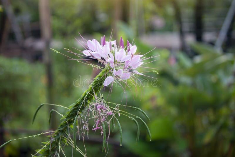 Flor de araña o spinosa rosada del Cleome en jardín fotografía de archivo
