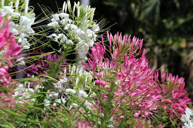 Flor de araña - spinosa del Cleome imagenes de archivo