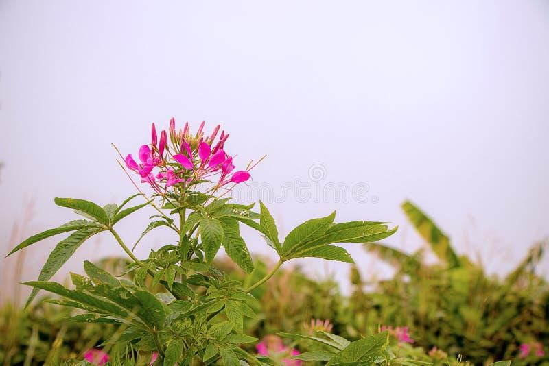 Flor de aranha roxa do foco no fundo do borrão do jardim fotos de stock