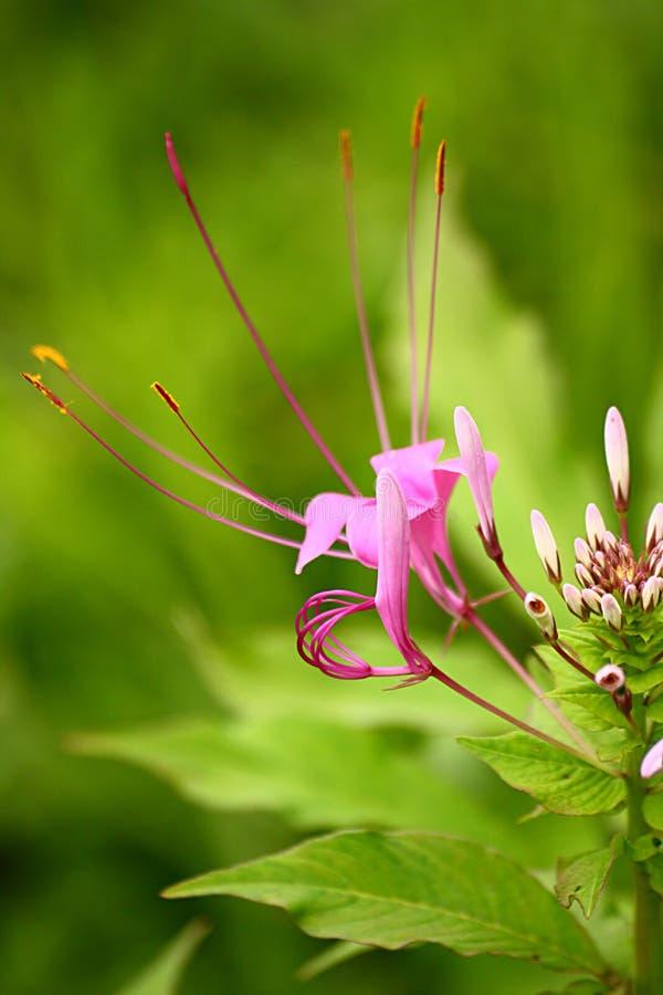 Flor de aranha Showy da cor violeta com botões brancos imagem de stock