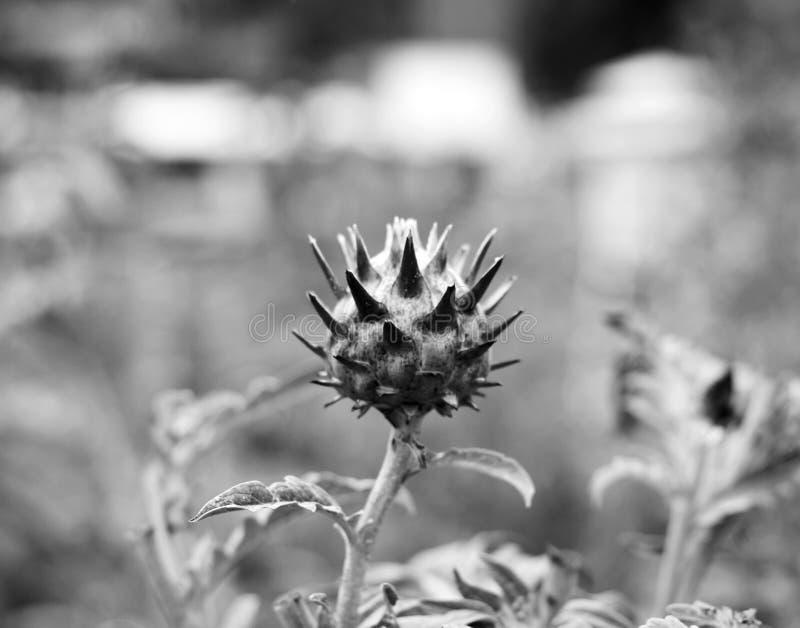 Flor de Atiso imagen de archivo