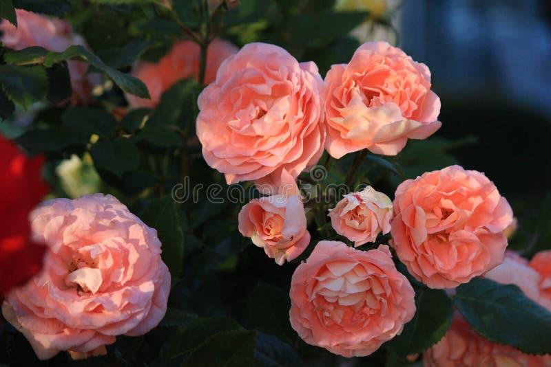 A flor de aumentou fotos de stock royalty free