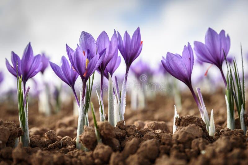 Flor de Azafran imagens de stock