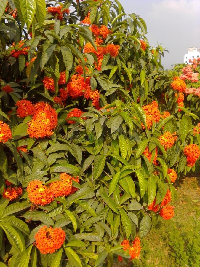 Flor de Bangladesh imagenes de archivo