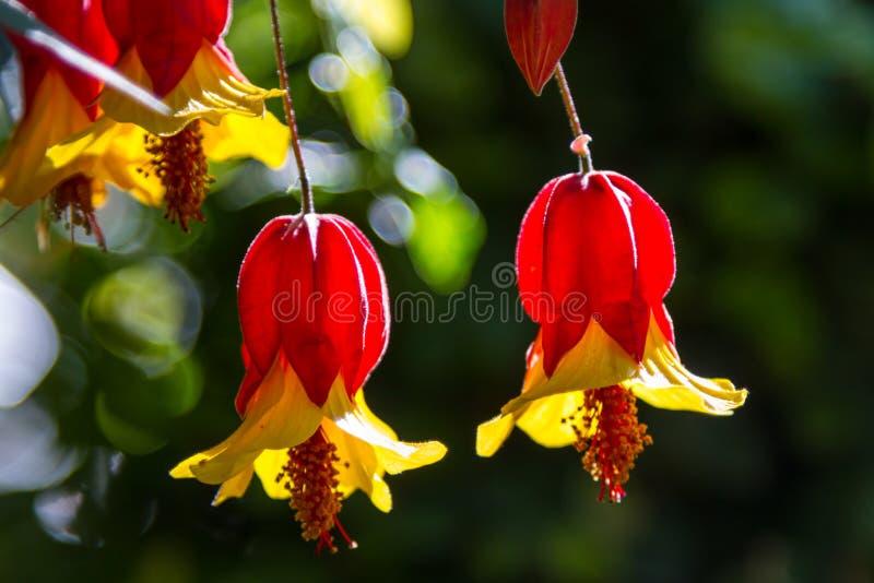 Flor de Bell foto de stock royalty free