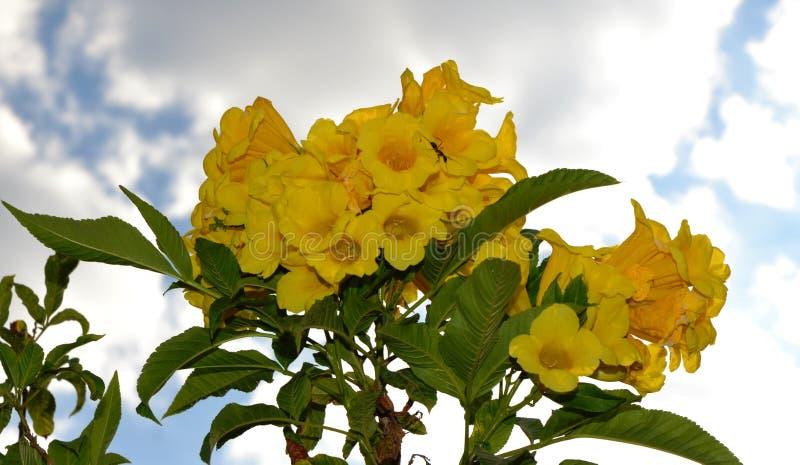 Flor de Bell amarilla en un día de Clouday imágenes de archivo libres de regalías