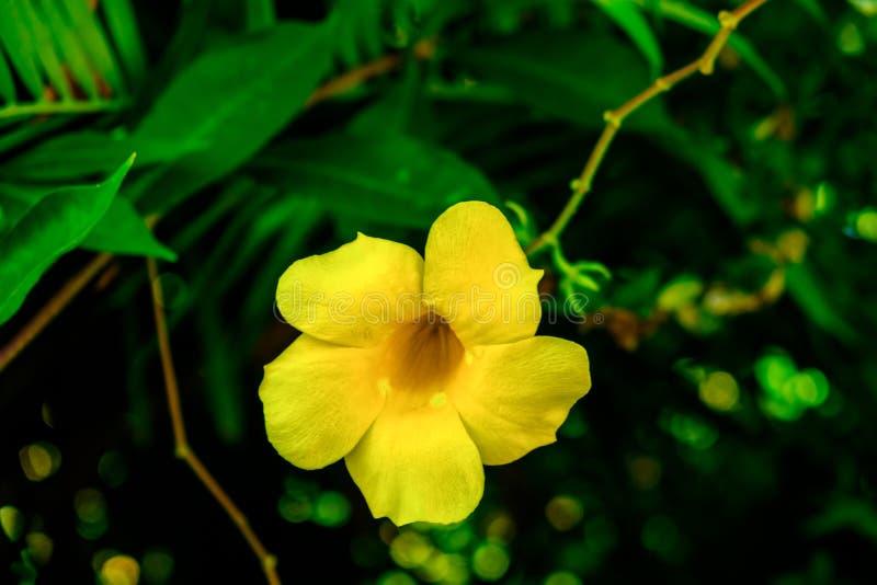 Flor de Bell Jamaica-amarilla fotos de archivo libres de regalías