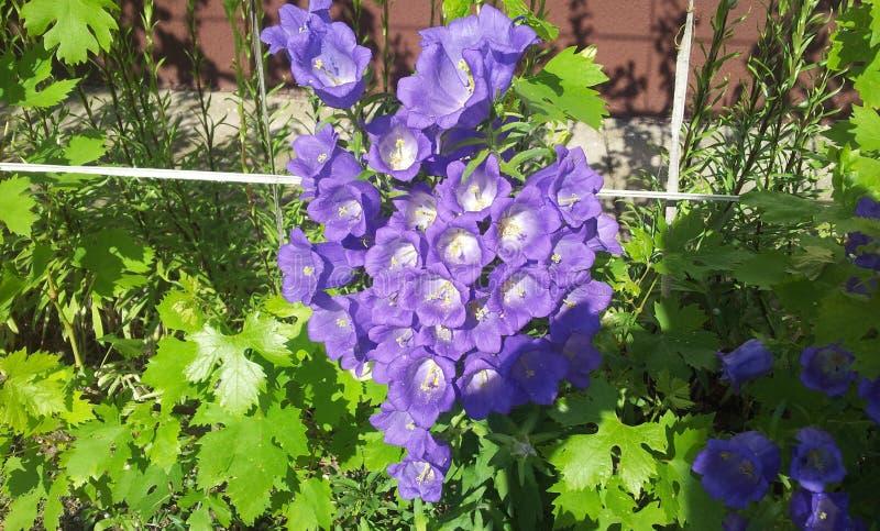 Flor de Bell roxa imagens de stock royalty free
