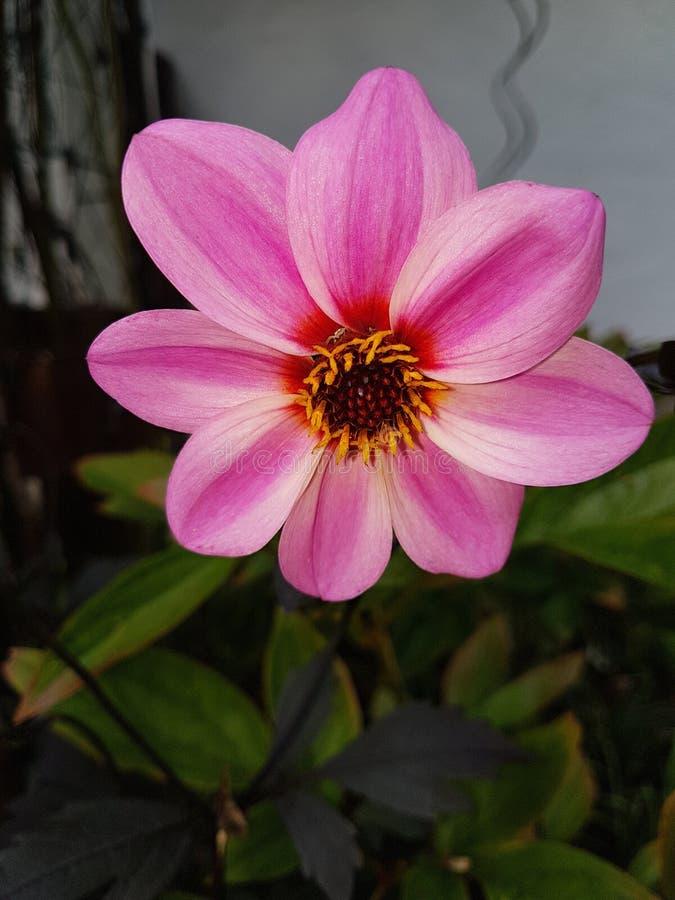 Flor de Blume fotografía de archivo libre de regalías
