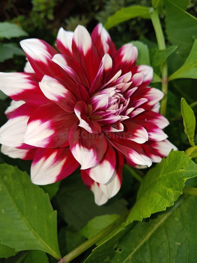 Flor de Blume imagen de archivo libre de regalías