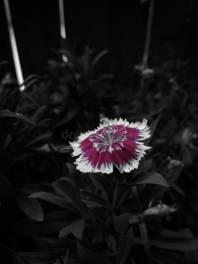 Flor de Borgonha imagem de stock