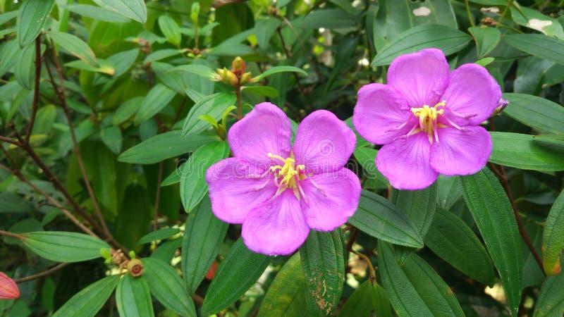 Flor de Bovitiya de Sri Lanka imagem de stock royalty free