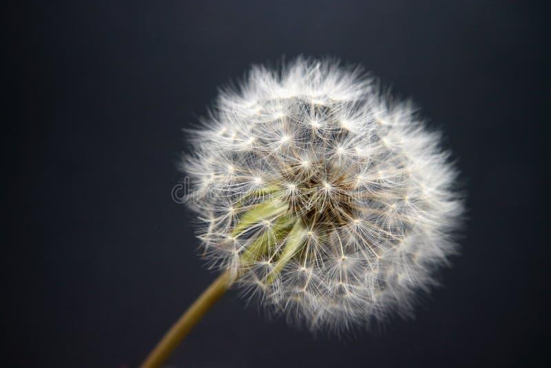 Flor de branco do fluff do dente-de-leão em um fundo cinzento imagens de stock