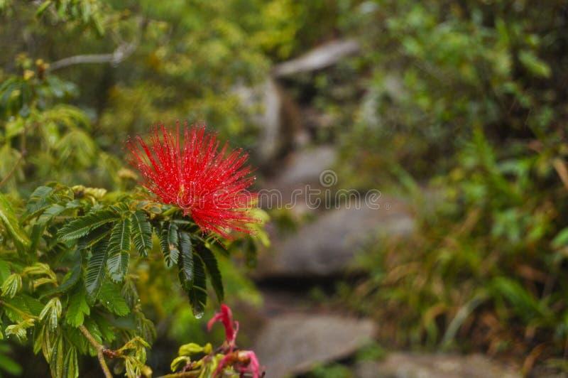 A flor de Brasil fotografia de stock