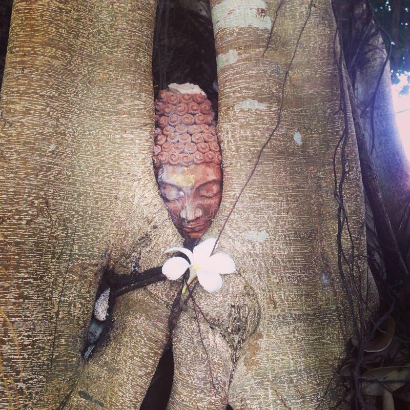 Flor de Buda da árvore de Samui imagem de stock royalty free